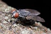 Mouche domestique sur une écorce sur fond noir