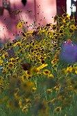 Tickseeds 'Tequila Sunrise' in bloom in a garden