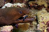 Giant moray and Bluestreak cleaner wrassers Red Sea Sudan