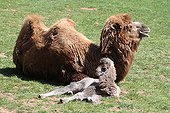 Wild Bactrain Camel female lying with its young England