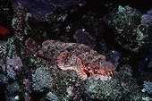 Poisonous Bearded Scorpionfish camouflaged on coral reef