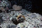 False Stonefish camouflaged on coral reef bed Egypt