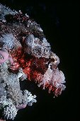 Camouflaged Tassled Scorpionfish on coral reef Egypt