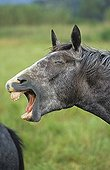 cheval lipizzan adulte hennissant