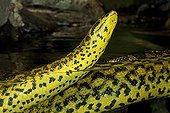 anaconda jaune eunectes notaeus prise de vue mi-eau mi-air