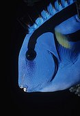 Head of Indo-Pacific Bluetang Great Barrier Reef Australia