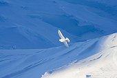 Pétrel des neiges en vol Terre Adélie Antarctique