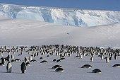 Emperor penguins at the front of a glacier Adélie Land ; Manchots Empereurs devant le front d'un glacier Terre Adélie