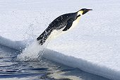 Emperor penguin out of the water Adélie Land ;