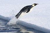 Emperor penguin out of the water Adélie Land ; Manchot Empereur jaillissant hors de l'eau Terre Adélie