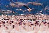 Lesser Flamingos at Lake Bogoria Kenya