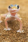 Web-footed Gecko in the Namib-Naukluft NP