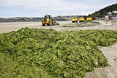 Cleaning Green algae Beach of Saint-Michel-en-Greve France ; The algae are collected ready to be picked
