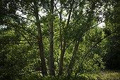 Peupliers blancs dans la ripisylve du Calavon Luberon France