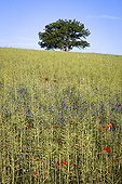 Rapeseed field with grainland plants in the Luberon France