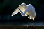 Little Egret grooming in the Camargue RNP France