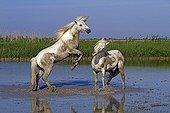 Camargue horses fighting in the Camargue RNP France