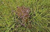Thyms émergeant d'une fourmilière en Lorraine France