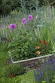 Dahlia in bloom in a squarefoot kitchen garden