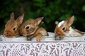 Rabbits in ornamental pots Provence France