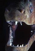 Bouche de Murène javanaise Mer Rouge Egypte