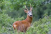 Young buck in summer Lot France