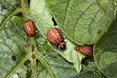 Larvae of colorado potato beetles on sheets of potatoes Lot