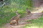 European Hare and Red legged Partridge Lot France