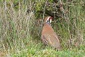 Red legged Partridge Lot France