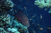 Lunartail Grouper and symbiotic Bluestreak Cleaners Red Sea