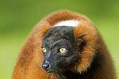 Portrait of a Red ruffed lemur
