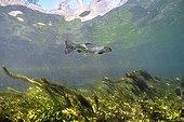 Truite arc-en-ciel sauvage dans la rivière Sorgue Vaucluse