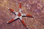 Red Mesh Starfish, Cenderawashi Bay, West Papua, Indonesia