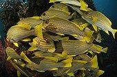 Shoal of Yellow-ribbon Sweetlips, Waigeo, Raja Ampat, West Papua, Indonesia