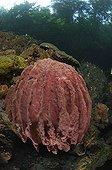 Barrel Sponge in shallow water, Waigeo, Raja Ampat, West Papua, Indonesia