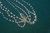 Mimic Octopus, Lembeh Strait, Sulawesi, Indonesia