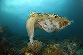 Broadclub Cuttlefish, Lembeh Strait, Sulawesi, Indonesia