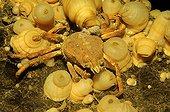 Spider Crab on Plumose Anemone, White Sea, Karelia, Russia