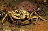 Great Spider Crab, White Sea, Karelia, Russia