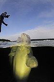 Animal Trainer with Beluga Whales, White Sea, Karelia, Russia