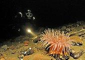 Urticina Sea Anemony and Scuba Diver, White Sea, Karelia, Russia