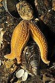 Common Starfish feeding on Mussel, White Sea, Karelia, Russia