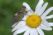 Cicada posed on an Oxeyedaisy in the Vosges France