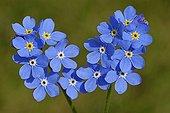 Fleurs bleues de Myosotis au printemps France