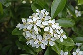 Mexican orange blossom in the spring France