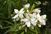 Mexican orange blossom in the spring France ;
