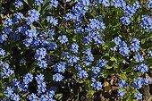 Forgot-me-not Blue flowers in spring France ; Fleurs bleues de Myosotis au printemps France