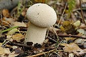 Common Puffball in fall France