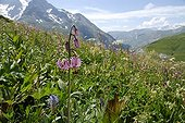 Turk's cap lily flowers Pics de Combeynot  NR Alps France