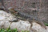 Australian adult lizard basking in Australia